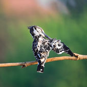 Female Pied Kingfisher — Stock Photo
