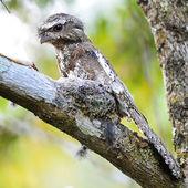 Male Hodgson Frogmouth — Stock Photo