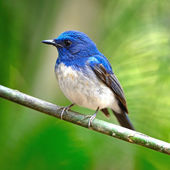 Male Hainan Blue Flycatcher — Stock Photo
