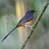 Juvenile male White-rumped Shama — 图库照片
