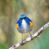 Male Himalayan Bluetail — Stock Photo