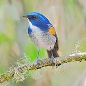 Mężczyzna himalaje bluetail — Zdjęcie stockowe