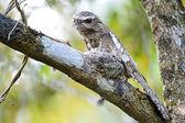 Male Hodgson Frogmouth — Stok fotoğraf