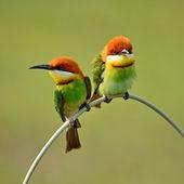 Kestane başlı arı kuşugiller — Stok fotoğraf