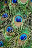 Male Green Peacock feathers — Foto de Stock