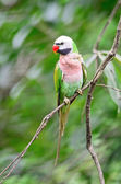 Male Red-breasted Parakeet — Stock Photo