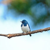 Male Ultramarine Flycatcher — Stock Photo
