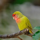 Lovebird — Stock Photo