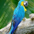 Blue and Gold Macaw — Stock Photo #47450645
