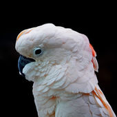 Seram Cockatoo — Stock Photo