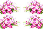 Impala Lily flower — Stock Photo