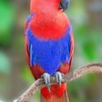 Постер, плакат: Female Eclectus parrot