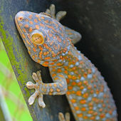 Gecko lizard — Stock Photo