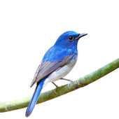 Male Hainan Blue Flycatcher isolated — Stock Photo