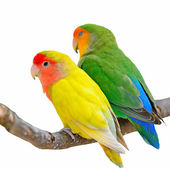 Lovebird isolated — Stock Photo