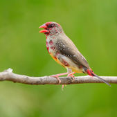 Juvenile male Red Avadavat — 图库照片