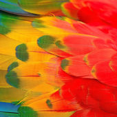 Scarlet Macaw feathers — Stock fotografie