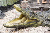 Idolatry crocodiles — Stockfoto