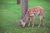 Deer in zoo — Stock Photo