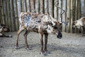 Reindeer Caribou) looks miserable — Stock Photo