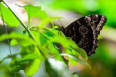 Bulls Eye Silk Moth (Gonimbrasia zambesina) — Stock Photo