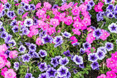 An image of Beautiful pink and violet flowers  — Stock Photo