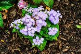 Purple dandelions — Stock Photo