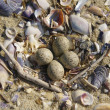 Nest on Beach in Spring — Foto Stock #38004103