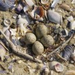 Foto de Stock  : Nest on Beach in Spring