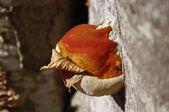 树真菌 — 图库照片