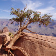 Stock Photo: Pine struggling to survive in Grand Canyon