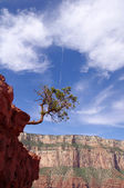 Pine struggling to survive in the Grand Canyon — Stock Photo