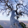 Old dead tree on the edge of the Grand Canyon — Stock Photo #38905893