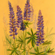 Lupine background, oil pastels composition — Stock Photo