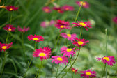 Bright chamomiles. Pink chamomiles background, photo composition. — Stock Photo