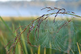 Web on grass. Spider on a web. Dew on a web. — Stock Photo
