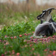 Goat lies under an apple-tree. — Stock Photo