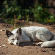 Stock Photo: White fox