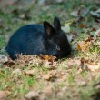 Black rabbit. Close-up — Stock Photo