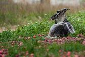 Cabra se encuentra bajo un manzano. — Foto de Stock