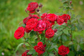 Web on roses. Red Roses on a bush in a garden. — Foto de Stock