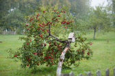 Apple-tree with red apple. — Foto de Stock