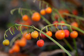Berries of a lily of the valley. — Stock Photo