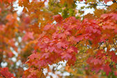 Beautiful autumn. Red-yellow leaves. Maple. — Stock Photo