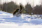 Perro corre sobre la nieve. invierno. día soleado escarchado. — Foto de Stock