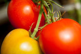 Tomatoes on a branch. — Stock Photo