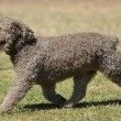 Spanish water dog — Stock Photo #38385379