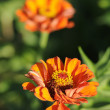Stock Photo: Genus Zinnia