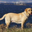Labrador retriever — Stock Photo #38386035