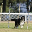 Border collie — Stock Photo #38386089
